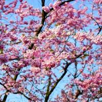 Cherry blosoms in bloom. Public domain image via pxhere.com