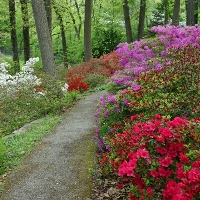 Spring forest scene with azeleas along a path. Photo graph by Peter Ellis licensed under Creative Commons By Attribution