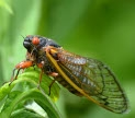 Periodical cicada. Image by Dr. Elizabeth Medina-Gray, shared under a Creative Commons By Attribution license.